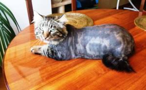 Фото кота после стрижки на дому