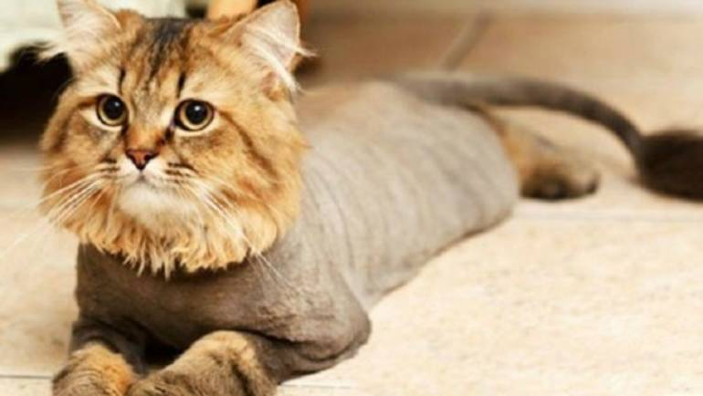 Типы и виды стрижек для кошек