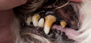 Зубной камень у собаки