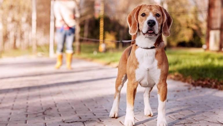 Дрессировка собак. Как обучить собаку основным командам.