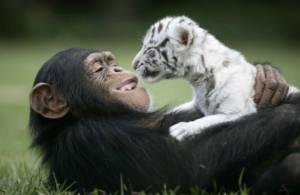 Дружба тигра и обезьяны