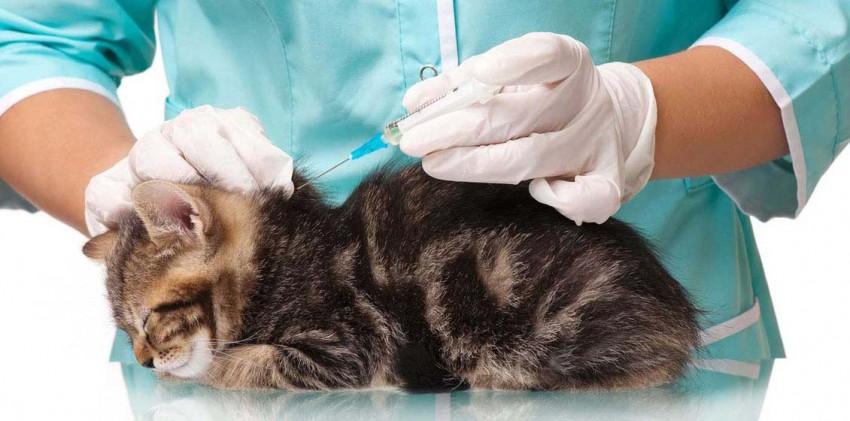 Прививки котенку — виды, правила, когда прививать