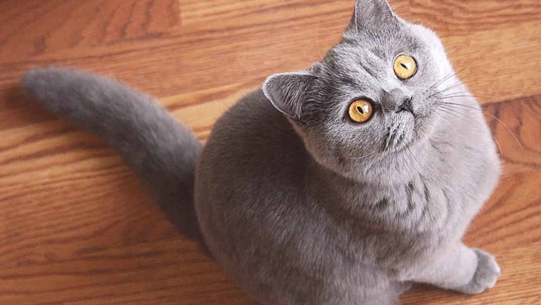 Что нужно знать о характере британской кошки?