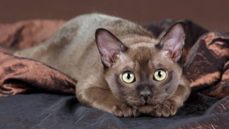 Уход за бурманскими кошками
