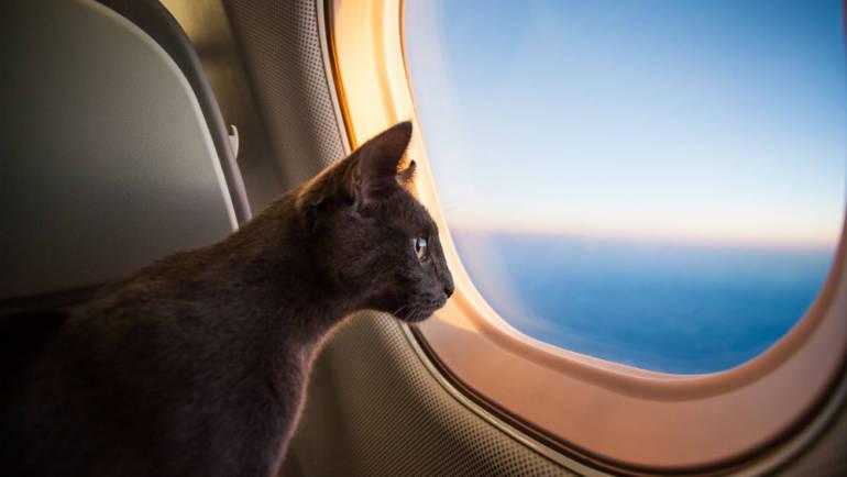 Как путешествовать с кошкой самолете