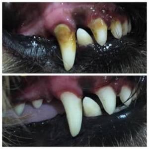 чистка зубов собакам от камня