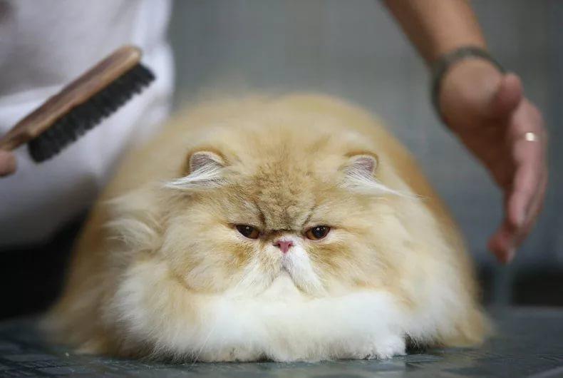 Колтуны у кота