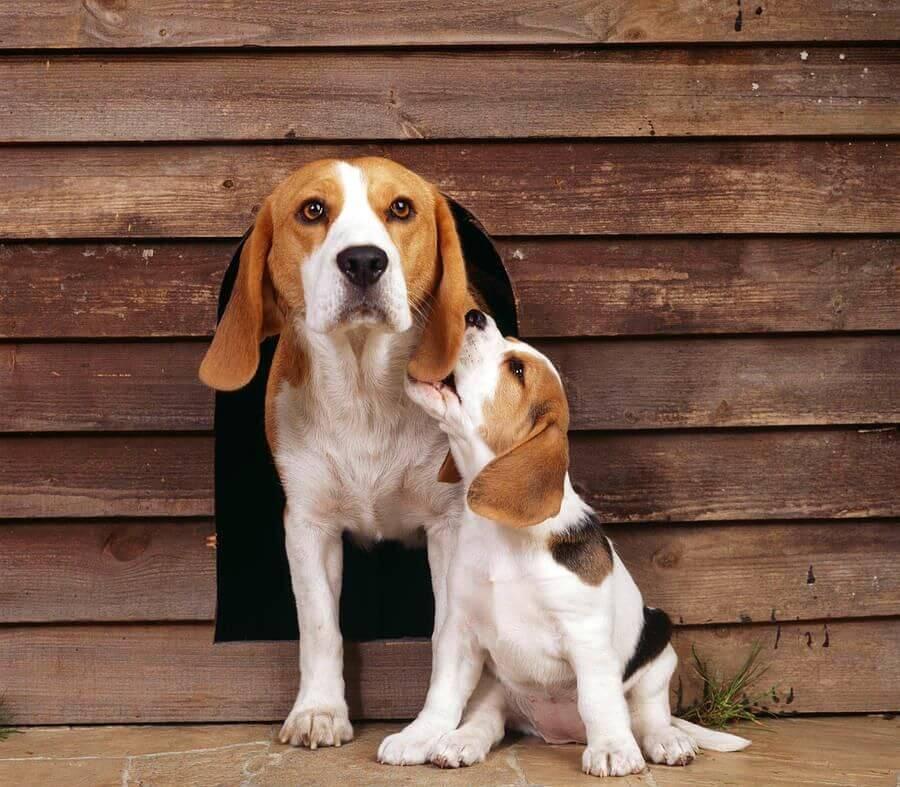 Породы собак для детей и квартиры