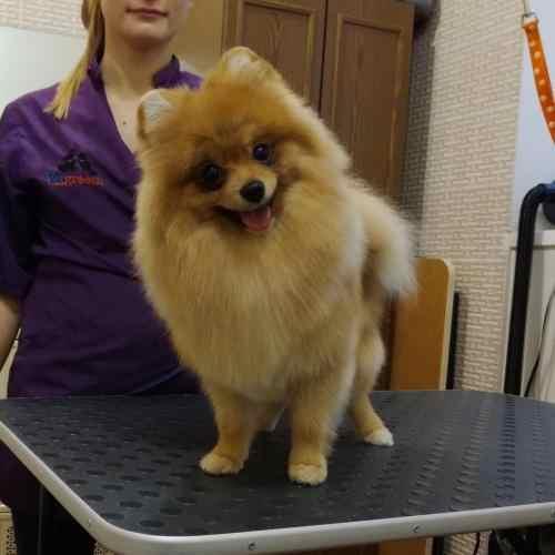 Стрижка мелких пород собак в салоне Ветгрум