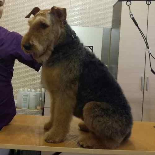 Тримминг крупных пород собак в Киеве